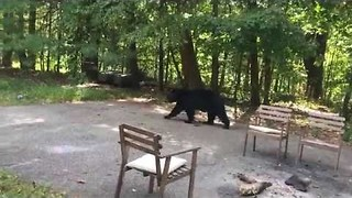 Homeowner Attempts to Scare Away Hungry Black Bear - Video