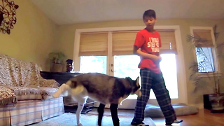 Cute Siberian Husky Really Hates Wearing Socks