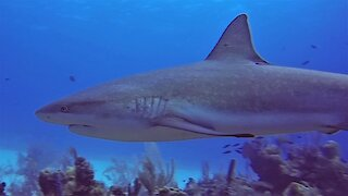 Divers in Belize find themselves surrounded by big sharks