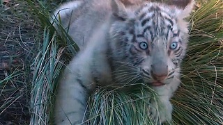 Rare White Tiger Triplets - Video