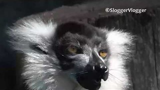 Ruffed Lemur Enjoys the Taste of Apple - Video