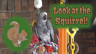 Parrot talks to a squirrel in the yard