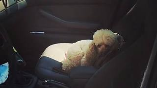 Poodle Refuses To Budge From The Car - Video