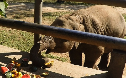 Rescued baby elephant loves his watermelons