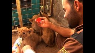 Man Lives With Three Lion Cubs - Video