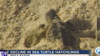 Decline in sea turtle hatchlings - Video