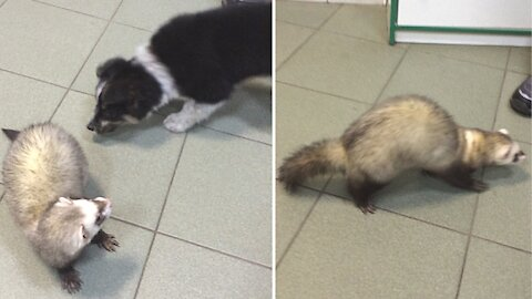 The Puppy makes the Ferret want to play