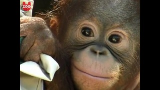 Orphaned Baby Orangutan - Video