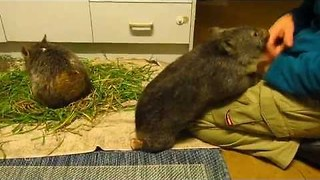 'Ratbag' Baby Wombat Gets a Bit Bitey - Video