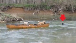Two Dogs Trapped In A Moving Kayak Rescued By A Heroic Dog  - Video