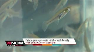 Hillsborough County to give away free mosquito fish this weekend