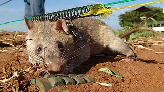 Rats Save Humans From Landmines - Video