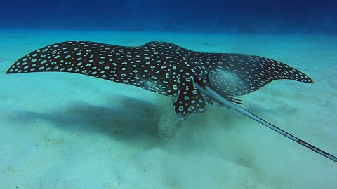 Spotted Eagle Rays Are Not The Deadly Creatures They're Believed To Be