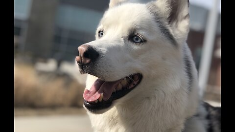 Siberian Husky visits a college campus