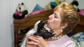 Skunk Admirers Celebrate Their Unique Pets In The Annual Skunk Festival - Video