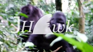 Gorillas Fight for Dominance in Uganda - Video