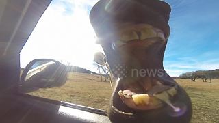 Curious zebra tries to eat camera at drive through zoo - Video
