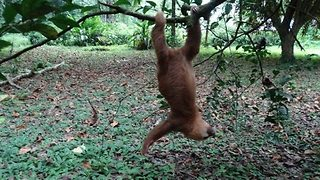 Adolescent Sloth Learns to Climb Quickly - Video