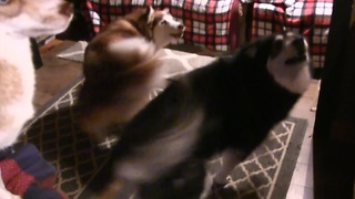Excited Malamutes spin in perfect unison for breakfast - Video