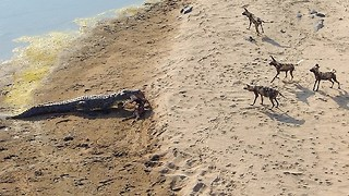 Lone Crocodile Steals Impala Kill From Pack Of Wild Dogs - Video