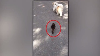 This Dog Found An Unusual Walking Partner In This Young Raccoon - Video