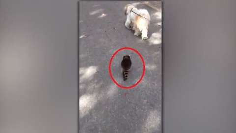 This Dog Found An Unusual Walking Partner In This Young Raccoon