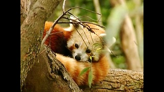 Baby Red Panda Twins - Video