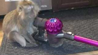 Monkey Baffled by Vacuum Cleaner Examines It Closely