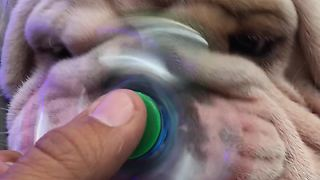 Titon the Bulldog introduced to fidget spinner - Video
