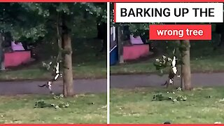Hilarious moment playful dog swings from tree
