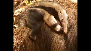 Hello Little Anteater.... - Video