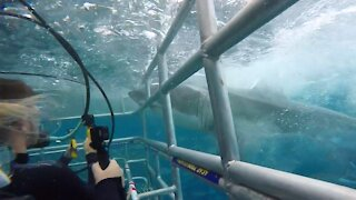 Great White Shark rams into diver cage in South Australia