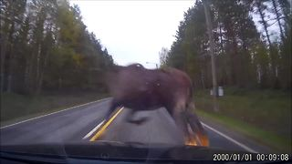 Dash cam footage captures tense moose accident