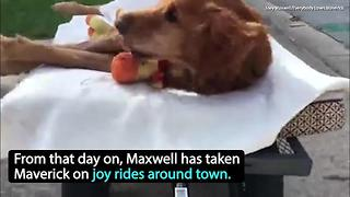 Dog battling cancer gets sweet wagon ride around town | Rare Animals - Video