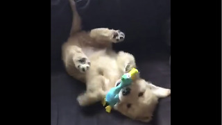 Golden Retriever puppy preciously plays with toy goose