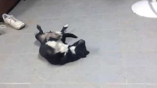 Puppy Plays Dead After Chasing Her Tail