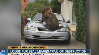 Loose seal leaves trail of destruction - Video