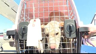 Over 50 dogs  land in Boise to find a forever home in the Gem State - Video