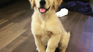 9-week-old puppy already knows lots of tricks - Video