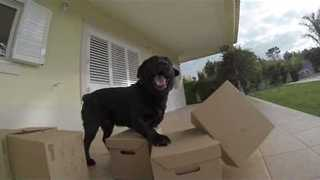 Ecstatic Dog Gets Present of Stack of Cardboard Boxes - Video