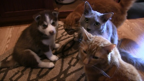 Trio of cats welcome husky puppy to the family