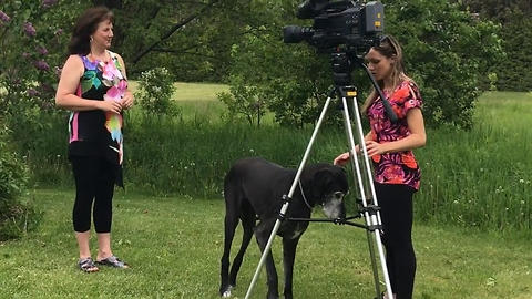 Blind old Great Dane photobombs news interview