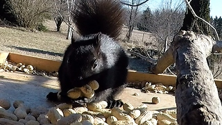 Greedy Squirrel Adorably Overstuffs His Face With Peanuts - Video
