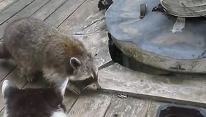 Raccoon victory dance - Video