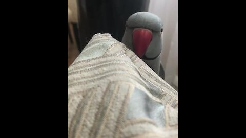 Genius parrot literally plays peek-a-boo with his owner