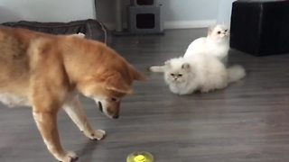 Dogs Love Playing With Fidget Spinner, But Cats Are Unimpressed - Video