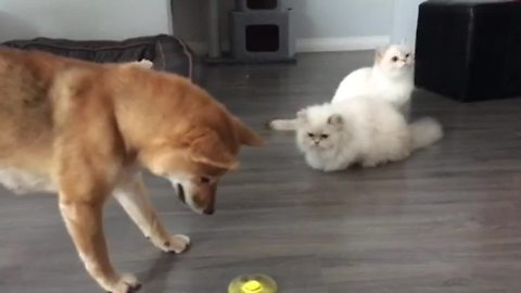 Dogs Love Playing With Fidget Spinner, But Cats Are Unimpressed