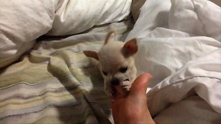A tiny puppy engages in a wrestling match. His opponent will make you smile!