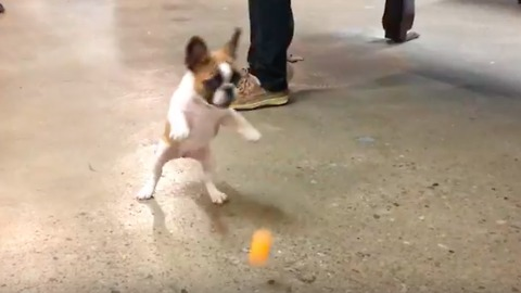 French Bulldog Puppy Can't Get Enough Of Ping Pong Ball