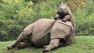 Baby rhino adorably begs tired mom to play